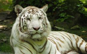 Картинка тигр, Кошка, белый тигр