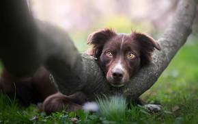 Картинка трава, взгляд, морда, природа, дерево, животное, собака, пёс, аусси, Iza Łysoń