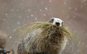 Картинка трава, Аляска, США, Denali National Park, грызун, седой сурок