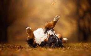 Картинка осень, взгляд, листья, поза, лист, парк, фон, поляна, игра, листок, собака, лапы, лежит, прогулка, листопад, …