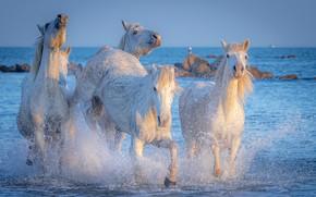 Картинка море, свет, брызги, кони, лошади, белые, морды, стадо, скакуны
