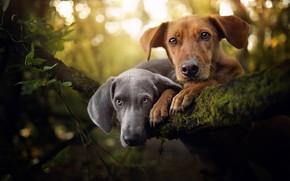 Картинка взгляд, портрет, парочка, две собаки, мордашки