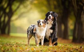 Обои осень, лес, язык, собаки, взгляд, листья, деревья, поза, парк, фон, вместе, поляна, листва, две, пара, ...