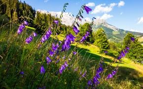 Картинка лето, свет, цветы, горы, природа, склон, колокольчики, сиреневые
