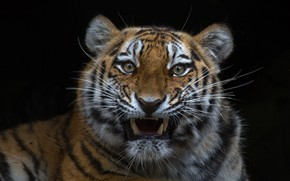 Обои взгляд, тигр, фон