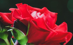 Картинка wallpaper, red, rose, flower, flowers, macro, buds