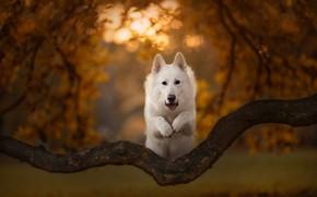 Картинка осень, прыжок, собака, коряга, боке, Белая швейцарская овчарка