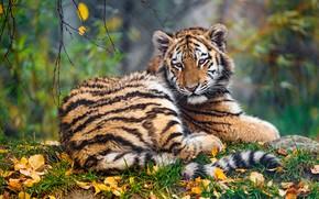 Картинка осень, трава, взгляд, морда, листья, ветки, природа, тигр, листва, малыш, лежит, тигренок, красавец, боке, тигрёнок