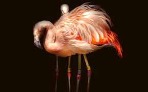Картинка свет, птицы, поза, темный фон, розовый, птица, две, пара, фламинго