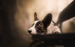 Картинка взгляд, скамейка, собака, уши, мордашка, боке, Вельш-корги