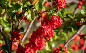 Картинка цветы, ветка, весна, красные, цветение, айва