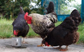 Картинка птицы, курица, ворота, двор, три, кастрюля, трио, корм, курицы, петух, трапеза, куры, пестрый, троица, втроем, …