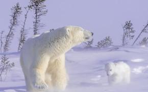Картинка зима, животные, снег, природа, хищники, медведи, медвежонок, детёныш, медведица