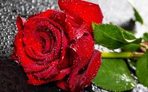 Картинка цветок, листья, капли, роза, стебель, бутон, красная, боке, крупным планом