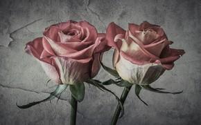 Картинка розы, текстура, штукатурка