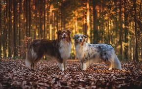 Картинка осень, лес, собаки