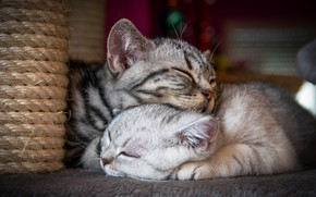 Картинка кошка, кот, кошки, поза, уют, дом, котенок, серый, фон, отдых, вместе, сон, пара, котята, котёнок, …