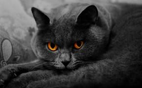 Картинка кошка, кот, взгляд, морда, крупный план, поза, серый, портрет, лежит, британский, дымчатый, желтые глаза