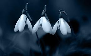 Картинка цветы, темный фон, весна, подснежники, три, белые, трио, монохром