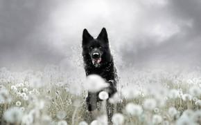 Картинка лето, взгляд, морда, цветы, фон, поляна, собака, бег, черная, прогулка, одуванчики, немецкая овчарка