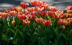 Картинка небо, листья, цветы, тюльпаны, бутоны, много, боке