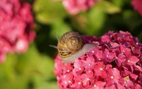Картинка лето, листья, макро, свет, цветы, улитка, размытие, ракушка, розовые, боке, гортензия