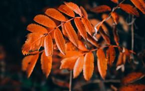 Картинка осень, октябрь, листья рябины