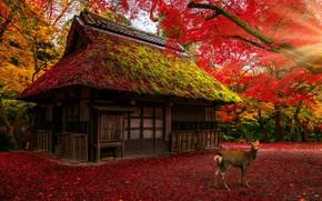 Картинка крыша, осень, лес, листья, свет, деревья, ветки, природа, дом, парк, листва, олень, Япония, красные, домик, …