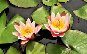Картинка Цветы, цветение, Водяная лилия