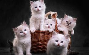 Картинка взгляд, темный фон, котенок, корзина, котята, белые, котёнок, компания, корзинка, милашки, много, шесть, выводок, рэгдолл, …