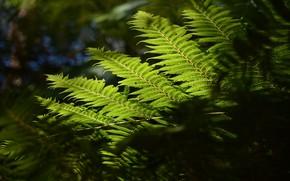 Картинка макро, природа, лист, папоротник