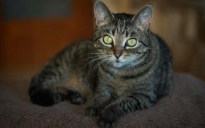 Картинка кошка, кот, взгляд, поза, серый, фон, лежит, мех, полосатый, зеленые глаза
