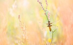 Картинка макро, фон, растение, стрекоза, насекомое, оранжевый фон, боке