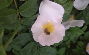 Картинка цветок, макро, пчела, лепесток, шиповник, Meduzanol ©