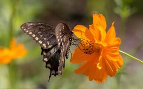 Картинка цветок, бабочка, космея