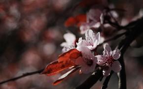 Картинка цветок, макро, природа, вишня, цветение, веточки