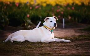 Картинка цветы, поляна, собака, весна, сад, тюльпаны, лежит, белая, травка, лабрадор, лужайка