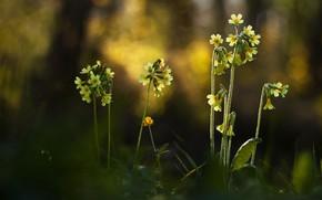 Картинка лес, свет, цветы, природа, фон, стебли, поляна, желтые, цветочки, боке, размытый, лесные, медуница