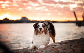 Картинка город, река, собака, Питер, Санкт-Петербург, пёс, Нева, аусси