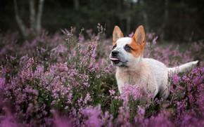 Картинка взгляд, цветы, природа, собака, щенок, прогулка, вереск
