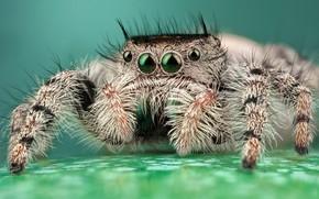 Картинка глаза, макро, поза, фон, лапки, светлый, паук, мохнатый, полосатый, бирюзовый, прыгун, джампер, паучок, скакунчик, прыгунчик, …