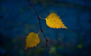 Картинка осень, листья, темный фон, ветка, желтые, два, синий фон, осенние листья, листья березы