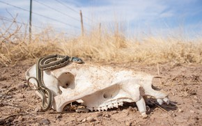 Картинка пустыня, череп, змея