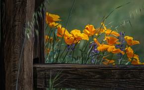 Картинка лето, цветы, доски, забор, обработка, желтые, оранжевые, эшшольция