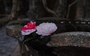 Картинка вода, цветы, камелии