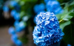 Картинка цветы, куст, сад, синяя, голубая, соцветия, размытый фон, гортензия
