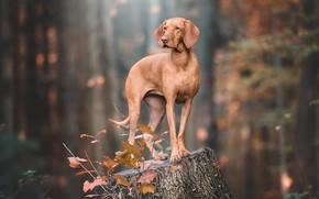 Картинка осень, взгляд, поза, пень, собака, коричневая, веймаранер