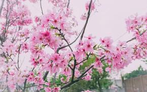 Картинка ветки, весна, сакура, цветение, pink, blossom, sakura, cherry, spring, bloom