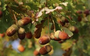 Картинка природа, дерево, Осень, Парк, Листва, Жёлуди, Дуб