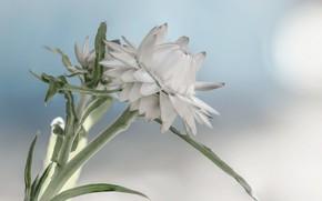 Картинка цветы, фон, бутоны, Fleur Walton